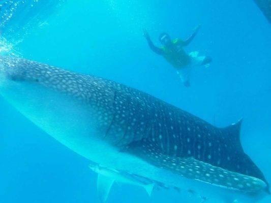 الغوص مع الحيتان